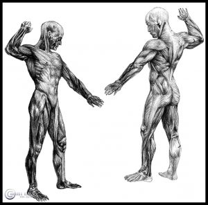 Study of Human Muscles
